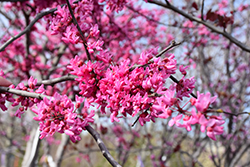 Appalachian Red Redbud (Cercis canadensis 'Appalachian Red') at Chalet Nursery