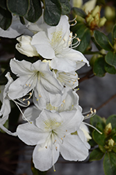 Delaware Valley White Azalea (Rhododendron 'Delaware Valley White') at Chalet Nursery