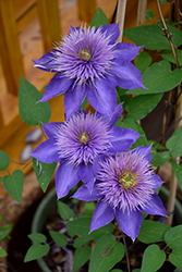 Multi Blue Clematis (Clematis 'Multi Blue') at Chalet Nursery