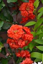 Double Take Orange™ Flowering Quince (Chaenomeles speciosa 'Double Take Orange Storm') at Chalet Nursery