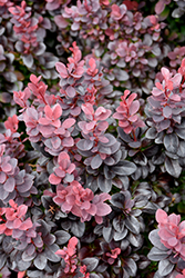 Concorde Japanese Barberry (Berberis thunbergii 'Concorde') at Chalet Nursery