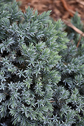 Blue Star Juniper (Juniperus squamata 'Blue Star') at Chalet Nursery