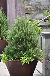 Tuscan Blue Rosemary (Rosmarinus officinalis 'Tuscan Blue') at Chalet Nursery