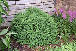 Chicagoland Green Boxwood (Buxus 'Glencoe') at Chalet Nursery