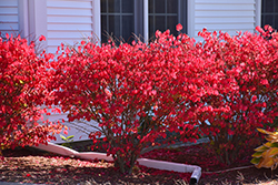 Chicago Fire Burning Bush (Euonymus alatus 'Chicago Fire') at Chalet Nursery