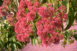 Seven-Son Flower (Heptacodium miconioides) at Chalet Nursery