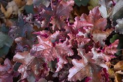 Red Sea Coral Bells (Heuchera 'Red Sea') at Chalet Nursery