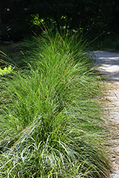 Autumn Moor Grass (Sesleria autumnalis) at Chalet Nursery