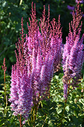 Superba Chinese Astilbe (Astilbe chinensis 'Superba') at Chalet Nursery