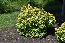 Glow Girl® Birch Leaf Spirea (Spiraea betulifolia 'Tor Gold') at Chalet Nursery