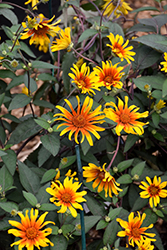 Burning Hearts False Sunflower (Heliopsis helianthoides 'Burning Hearts') at Chalet Nursery