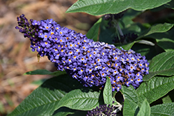 Pugster Blue Butterfly Bush (Buddleia 'SMNBDBT') at Chalet Nursery