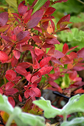 Jelly Bean® Blueberry (Vaccinium 'ZF06-179') at Chalet Nursery