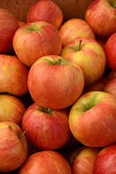 Honeycrisp Apple (Malus 'Honeycrisp') at Chalet Nursery