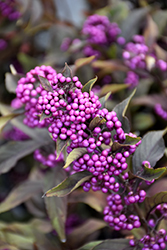 Pearl Glam Beautyberry (Callicarpa 'NCCX2') at Chalet Nursery