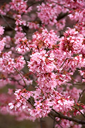 Okame Flowering Cherry (Prunus 'Okame') at Chalet Nursery