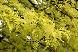 Sunburst Honeylocust (Gleditsia triacanthos 'Suncole') at Chalet Nursery