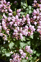Pink Pewter Spotted Dead Nettle (Lamium maculatum 'Pink Pewter') at Chalet Nursery