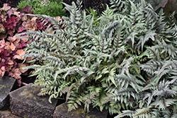 Japanese Painted Fern (Athyrium nipponicum 'Pictum') at Chalet Nursery