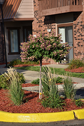 Quick Fire® Hydrangea (tree form) (Hydrangea paniculata 'Bulk') at Chalet Nursery