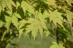 Jack Frost® Arctic Jade® Maple (Acer 'isIAJ') at Chalet Nursery