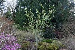 Joe Witt Snakebark Maple (Acer tegmentosum 'Joe Witt') at Chalet Nursery