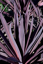 Bauer's Cordyline (Cordyline 'Baueri') at Chalet Nursery
