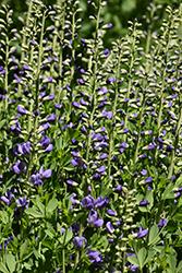 Purple Smoke False Indigo (Baptisia 'Purple Smoke') at Chalet Nursery