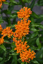 Butterfly Weed (Asclepias tuberosa) at Chalet Nursery