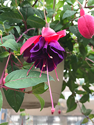 Dark Eyes Fuchsia (Fuchsia 'Dark Eyes') at Chalet Nursery