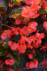 Big Red Bronze Leaf Begonia (Begonia 'Big Red Bronze Leaf') at Chalet Nursery